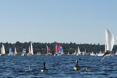 Familj av Kanada gäss som håller ögonen på en segelbåt att springa Fotografering för Bildbyråer