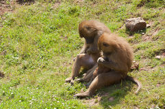 Familj av macaqueapor Royaltyfri Foto