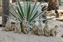 Familj av Meerkats Royaltyfri Foto