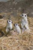 Familj av Meerkats Royaltyfri Bild