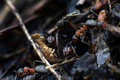 Familj av myror Royaltyfria Bilder