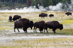 Familj av norden - amerikansk buffel nära Hotet Springs i gulingar Fotografering för Bildbyråer