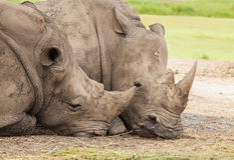 Familj av noshörningen Royaltyfri Foto
