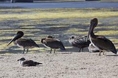 Familj av pelikan på den Malibu lagun Royaltyfria Bilder