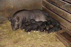 Familj av pigs Arkivbilder