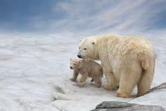 Familj av polara björnar Arkivbild