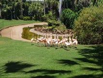 Familj av rosa Flamingos Arkivfoto