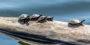 Familj av sköldpaddor som tar en Sunbath fotografering för bildbyråer