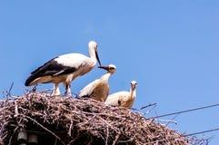Familj av storkar Arkivfoton