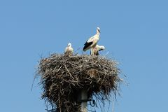 Familj av storkar i redet p? den elektriska polen arkivbilder