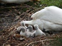 Familj av svanar, royaltyfri fotografi