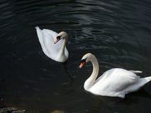 Familj av svanar, royaltyfria foton