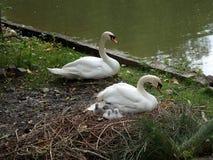Familj av svanar, arkivbild