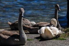 Familj av svanar med fyra unga signet i en gammal skeppsdocka på en sommardag royaltyfri bild