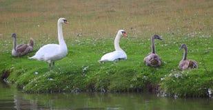 Familj av svanar på sida av floden royaltyfri bild