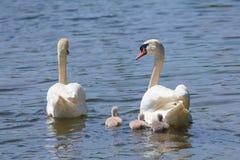 Familj av svanen Royaltyfri Fotografi