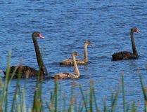 Familj av svarta svanar arkivfoton