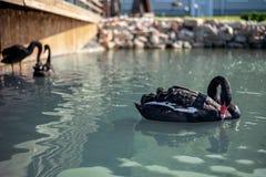 Familj av svarta svanar som simmar i sjön royaltyfri bild