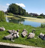 Familj av swans Royaltyfri Fotografi