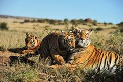 Familj av tigrar Arkivbilder