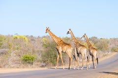 Familj av tre giraff som korsar vägen Fotografering för Bildbyråer