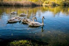 Familj av unga stumma svanar arkivfoto