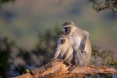 Familj av Vervet apor i den Kruger nationalparken Royaltyfri Foto