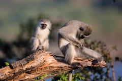 Familj av Vervet apor i den Kruger nationalparken Arkivfoto