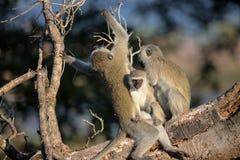 Familj av Vervet apor i den Kruger nationalparken Fotografering för Bildbyråer
