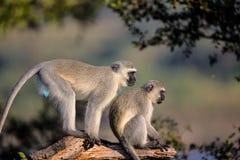 Familj av Vervet apor i den Kruger nationalparken Arkivbilder