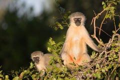 Familj av Vervet apor i den Kruger nationalparken Arkivbild