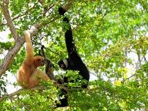 Familj av vit-var fräck mot gibbonapor i zoo Royaltyfri Bild