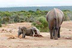 Familj för afrikanBush elefant Fotografering för Bildbyråer