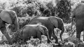 Familj för afrikanBush elefant som går till fördämningen Fotografering för Bildbyråer