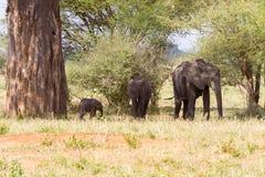 Familj för afrikanska elefanter i den Tarangire nationalparken, Tanzania arkivfoton