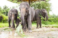 Familj för asiatiska elefanter Arkivfoton