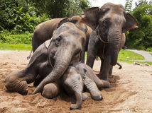 Familj för asiatiska elefanter Royaltyfri Foto