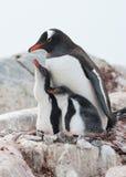 Familj för Gentoo pingvin (pygoscelisen papua). royaltyfri bild