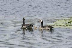 Familj för långhalsgås Royaltyfri Foto
