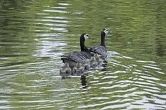 Familj för långhalsgås Royaltyfri Fotografi