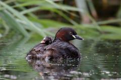 Familj för liten dopping Arkivbild