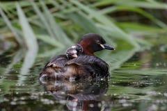 Familj för liten dopping Arkivfoto