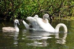 Familj för stum svan arkivfoton