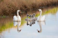 Familj för stum svan Royaltyfria Bilder