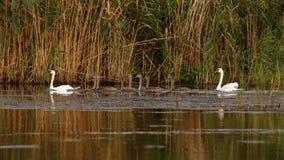 Familj för stum svan på Donaudelta fotografering för bildbyråer