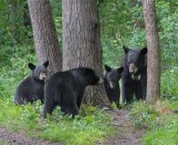 Familj för svart björn Royaltyfria Foton