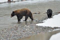 Familj för svart björn fotografering för bildbyråer