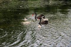 Familj för svarta svanar som svävar på sjön Royaltyfria Bilder