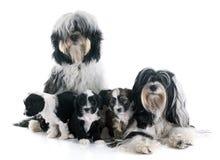 Familj för tibetan terrier arkivfoton