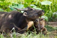 Familj för vattenbuffel Royaltyfria Foton